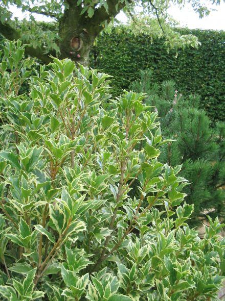 Osmanthus heterophyllus (Schijnhulst, Buxus vervanger)