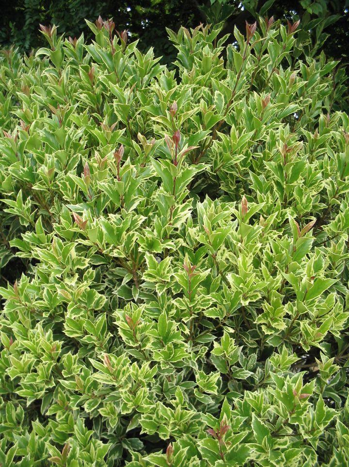 Osmanthus heterophyllus 'Aureomarginatus' - Schijnhulst