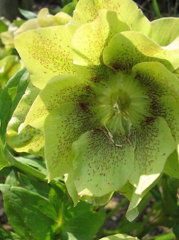 Helleborus Crèmegeel Driedubbel Gespikkeld - Nieskruid, kerstroos