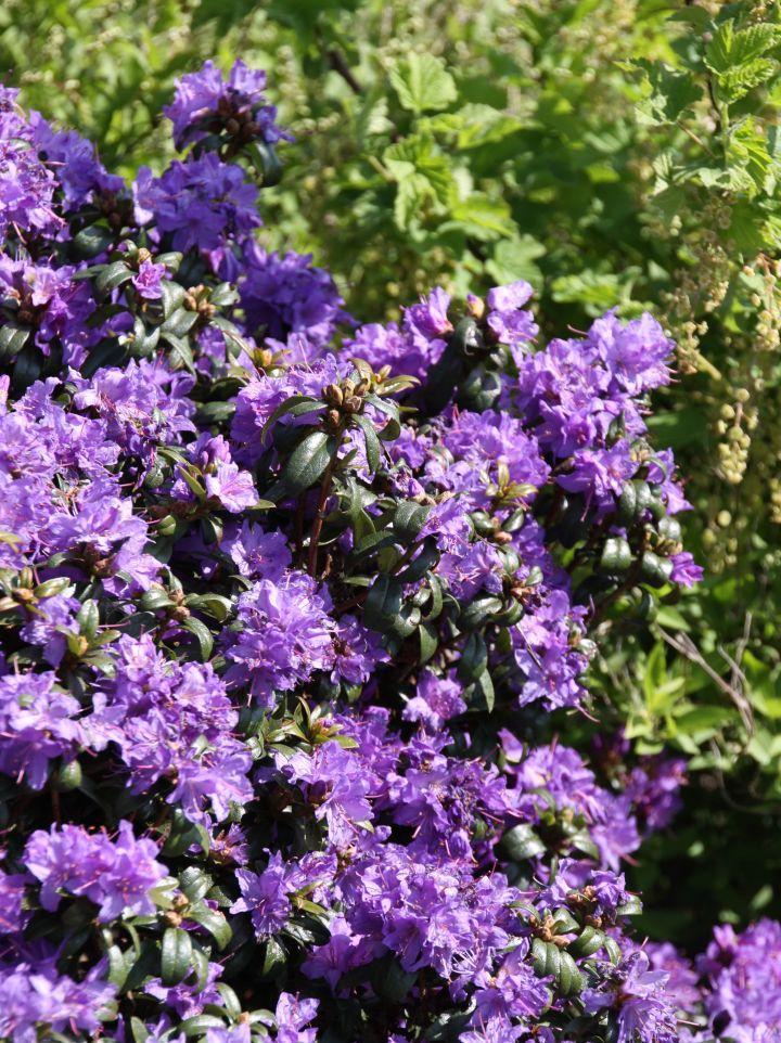 Rhododendron 'Gletschernacht' - Rododendron