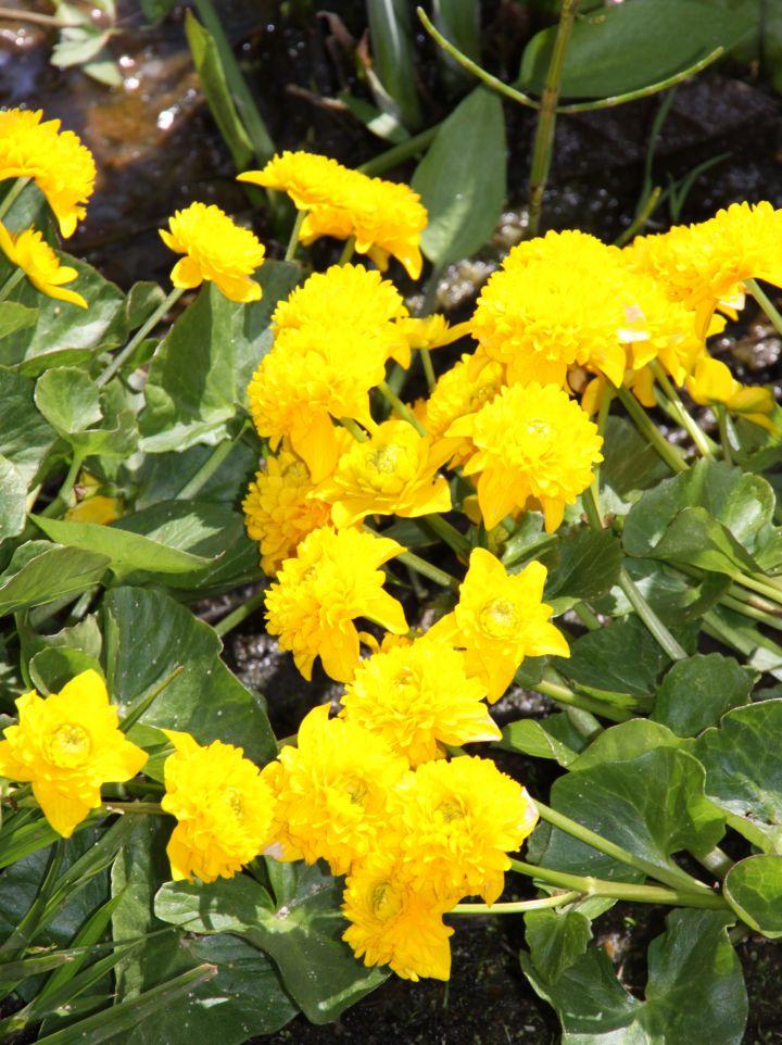 Caltha palustris 'Plena' - Gewone dotterbloem