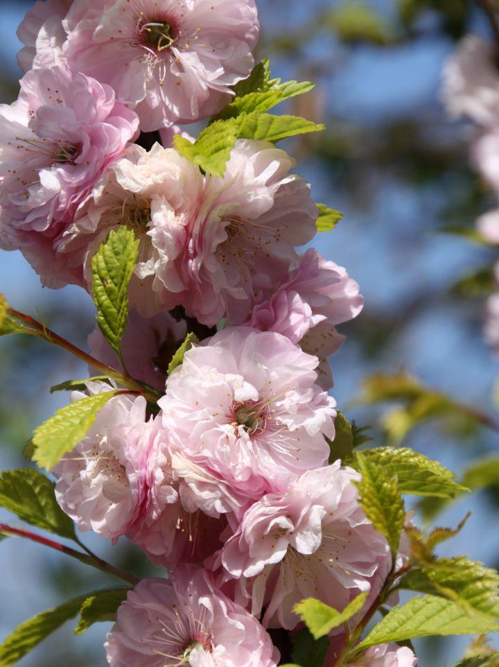 Prunus triloba - Sieramandelboompje