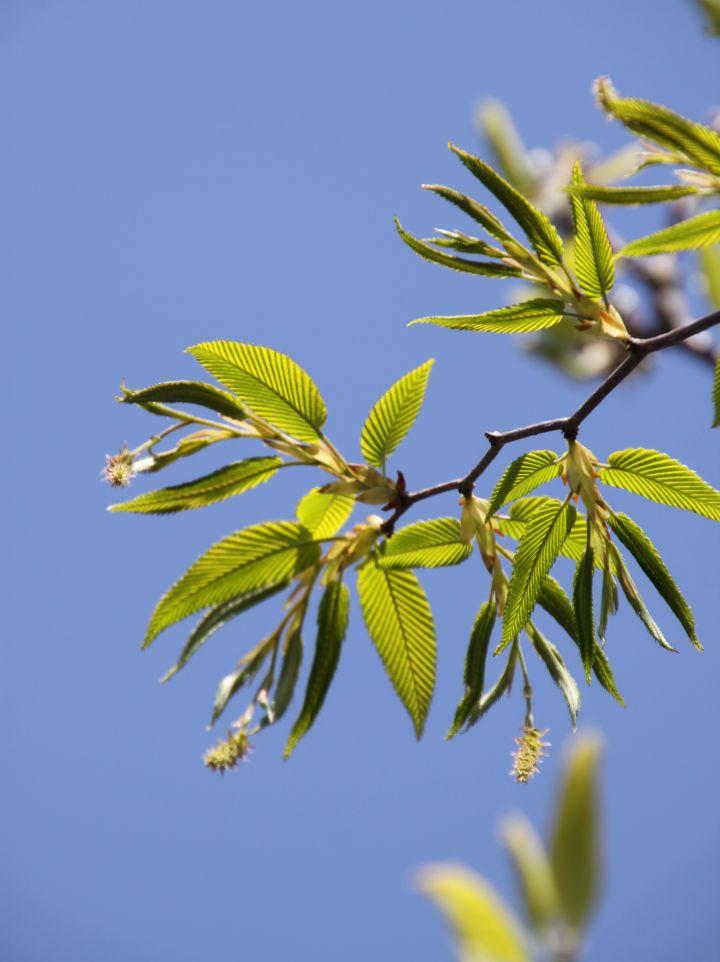 Carpinus japonica - Japanse haagbeuk
