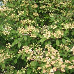 Viburnum plicatum 'Pink Beauty' - Japanse sneeuwbal