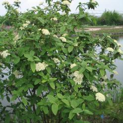 Viburnum rhytidophylloides 'Alleghany' - Sneeuwbal