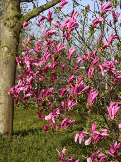 Magnolia 'Susan' - Valse tulpenboom, beverboom