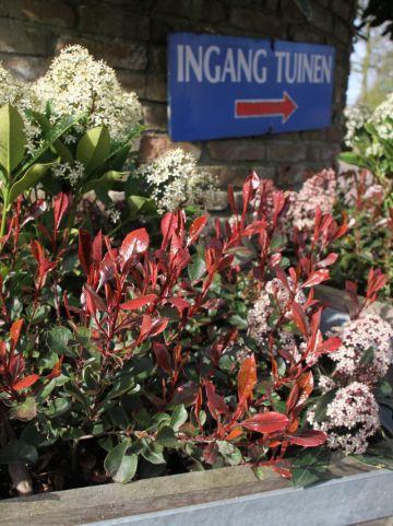 Photinia  x fraseri 'Little Red Robin' - Glansmispel