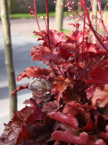 Heuchera 'Peach Flambe' - Purperklokje