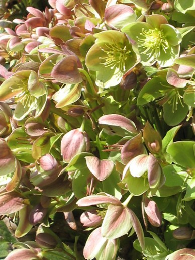 Helleborus lividus - Kerstroos, nieskruid