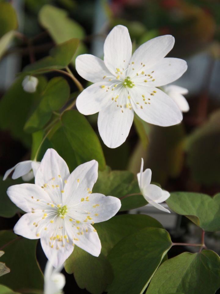 Anemonella thalictroides - Ruitanemoon