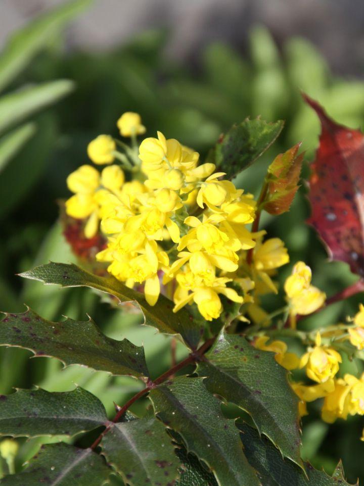 Mahonia aquifolium 'Apollo' - Mahoniestruik