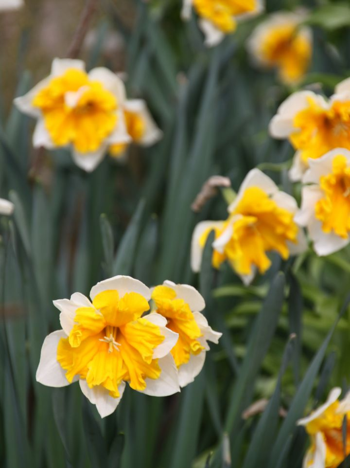Narcissus 'Orangery' - Narcis
