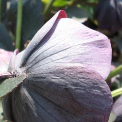 Helleborus Leiblauw - Nieskruid, kerstroos