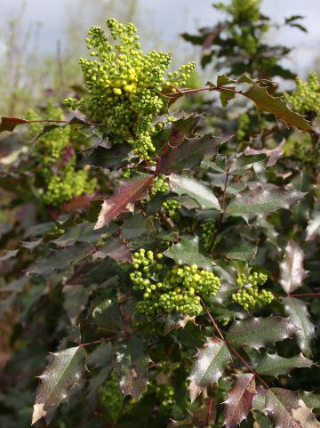 Mahonia aquifolium 'Atropurpurea' - Mahoniestruik