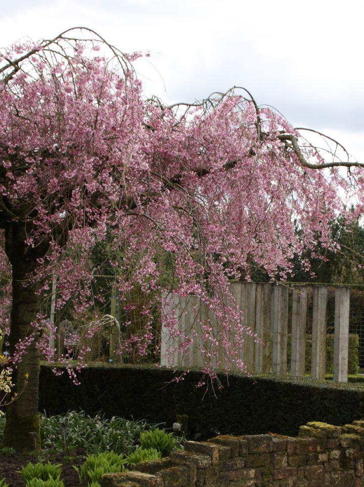 Prunus pendula 'Pendula Rosea' - (Treur)sierkers