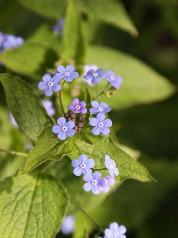 Brunnera macrophylla - Kaukasisch Vergeet-mij-nietje