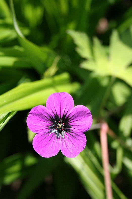 Geranium 'Ann Folkard' (Ooievaarsbek)