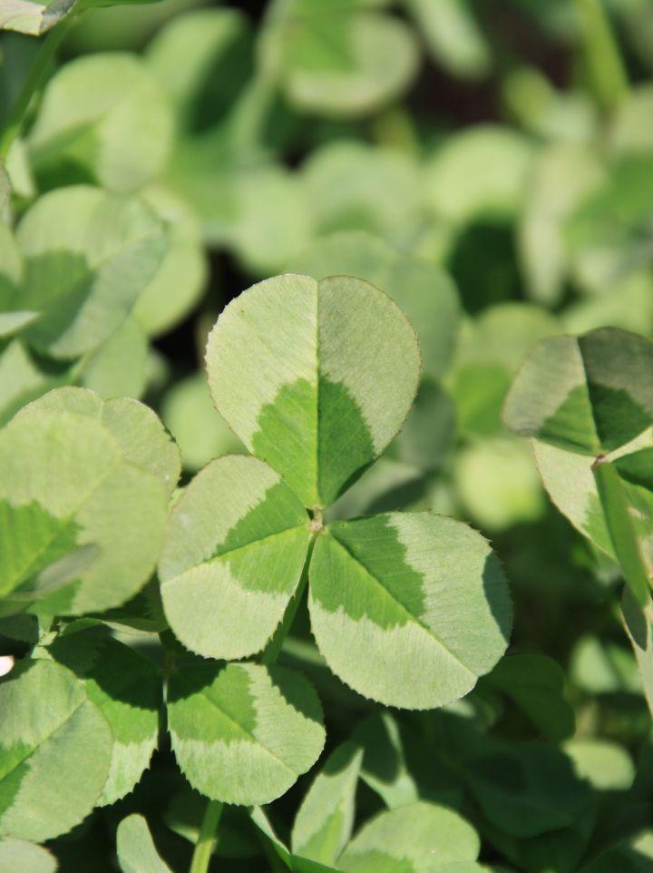 Trifolium repens 'Green Ice' - Klaver