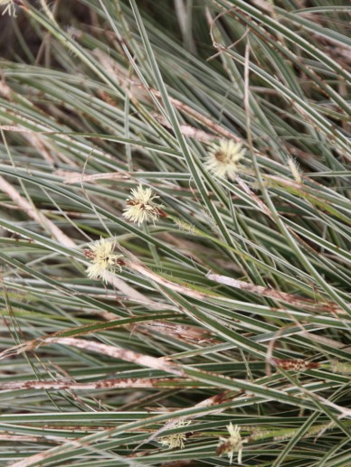 Carex conica 'Snowline' - Zegge