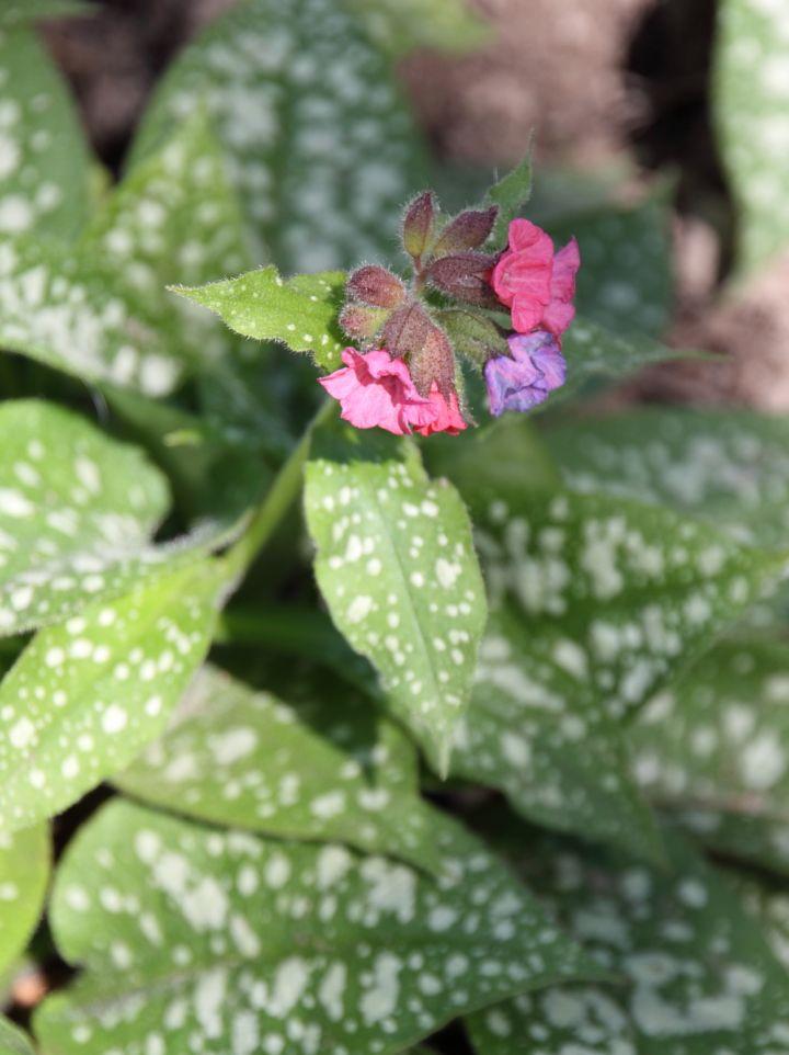 Pulmonaria 'Pink Haze' - Longkruid