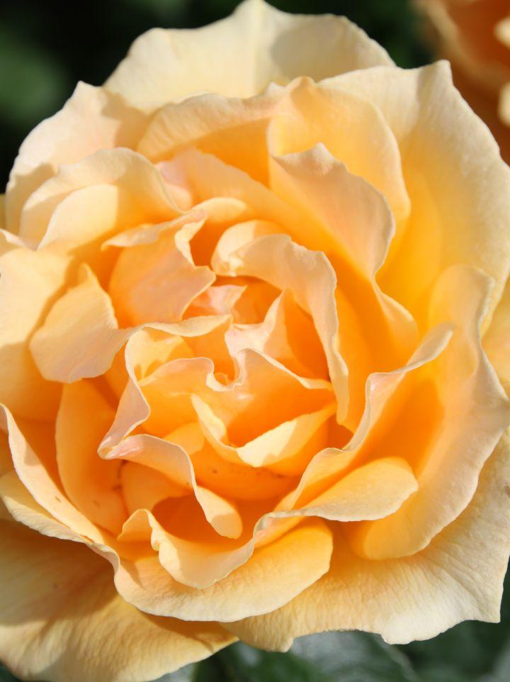 Rosa 'Harflow' - Floribundaroos