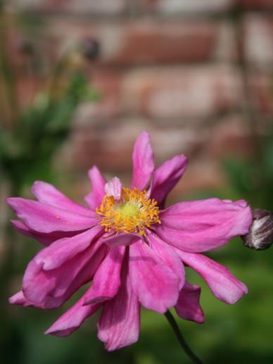 Anemone 'Rotkäppchen' - Herfstanemoon