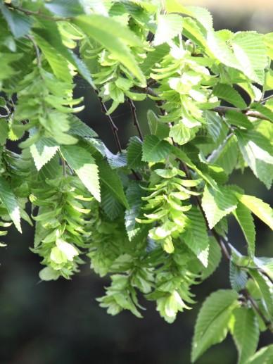 Carpinus turczaninowii - Koreaanse haagbeuk, steenbeuk