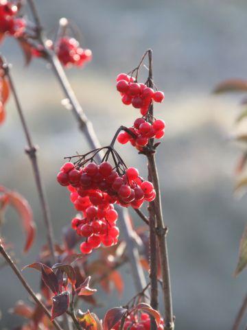Viburnum x hillieri 'Winton' - Sneeuwbal