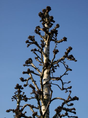 Betula ermanii 'Holland' - Goudberk
