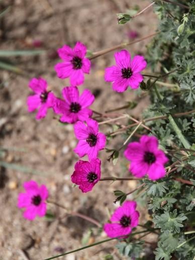 Geranium cinereum var. subcaulescens - Ooievaarsbek
