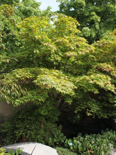 Acer palmatum 'Osakazuki' - Japanse esdoorn