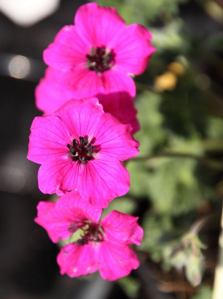 Geranium cinereum 'Alice' - Ooievaarsbek