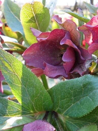 Helleborus Dubbelbloemig - Nieskruid, kerstroos