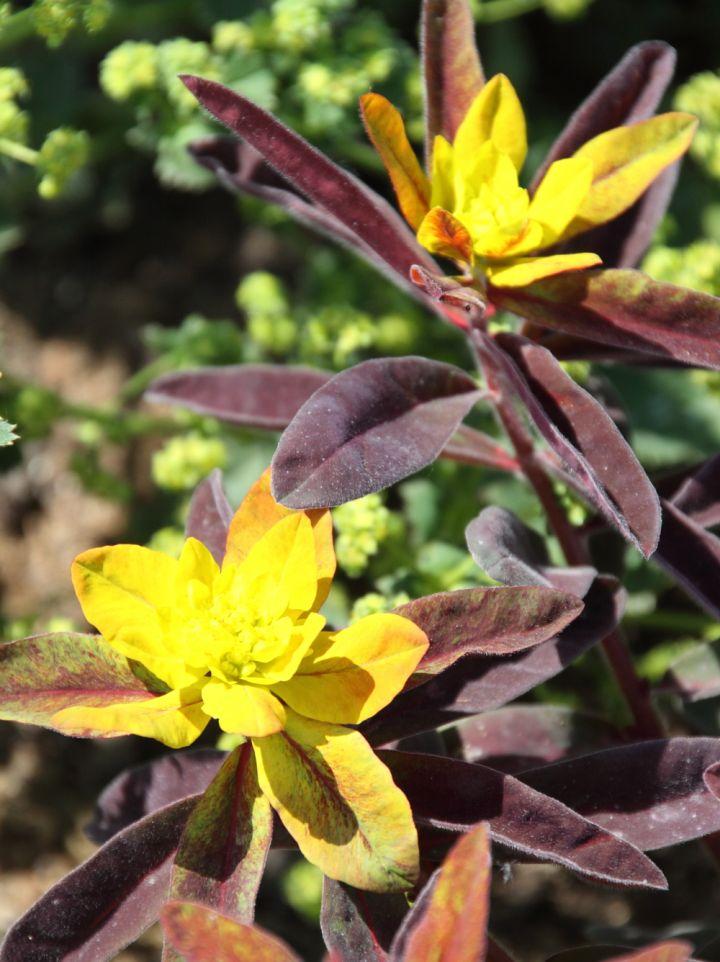 Euphorbia polychroma 'Bonfire' - Wolfsmelk