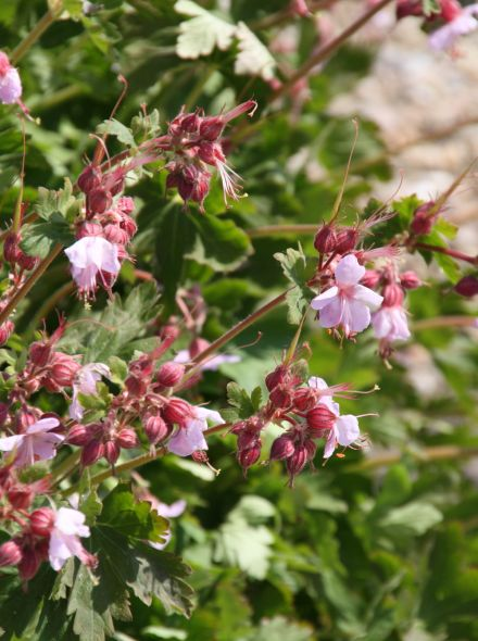 Geranium macrorrhizum 'Ingwersen's Variety' (Ooievaarsbek)