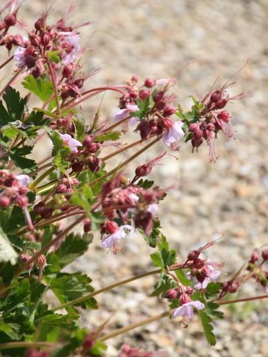 Geranium macrorrhizum 'Ingwersen's Variety' - Ooievaarsbek
