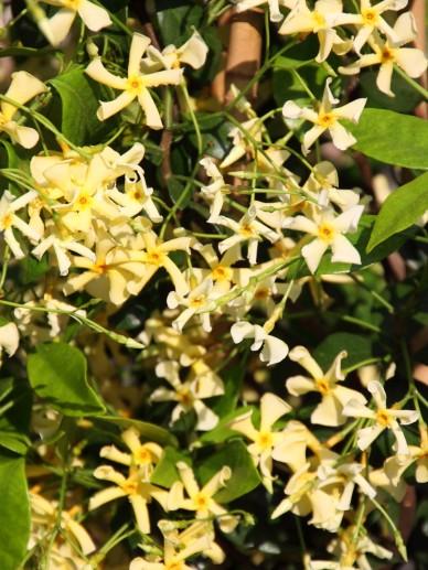 Trachelospermum jasminoides 'Selba (PBR)' - Toscaanse jasmijn, sterjasmijn