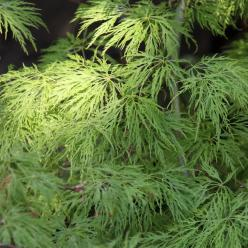 Acer palmatum 'Dissectum' - Japanse esdoorn