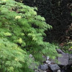 Acer palmatum 'Dissectum' - Japanse esdoorn | De Tuinen van