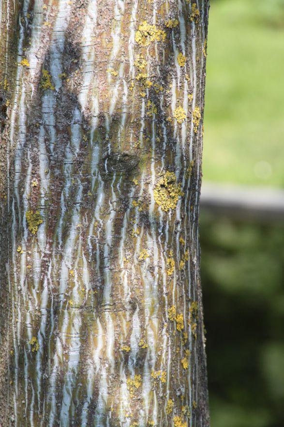 Acer capillipes (Streepjesbast esdoorn)
