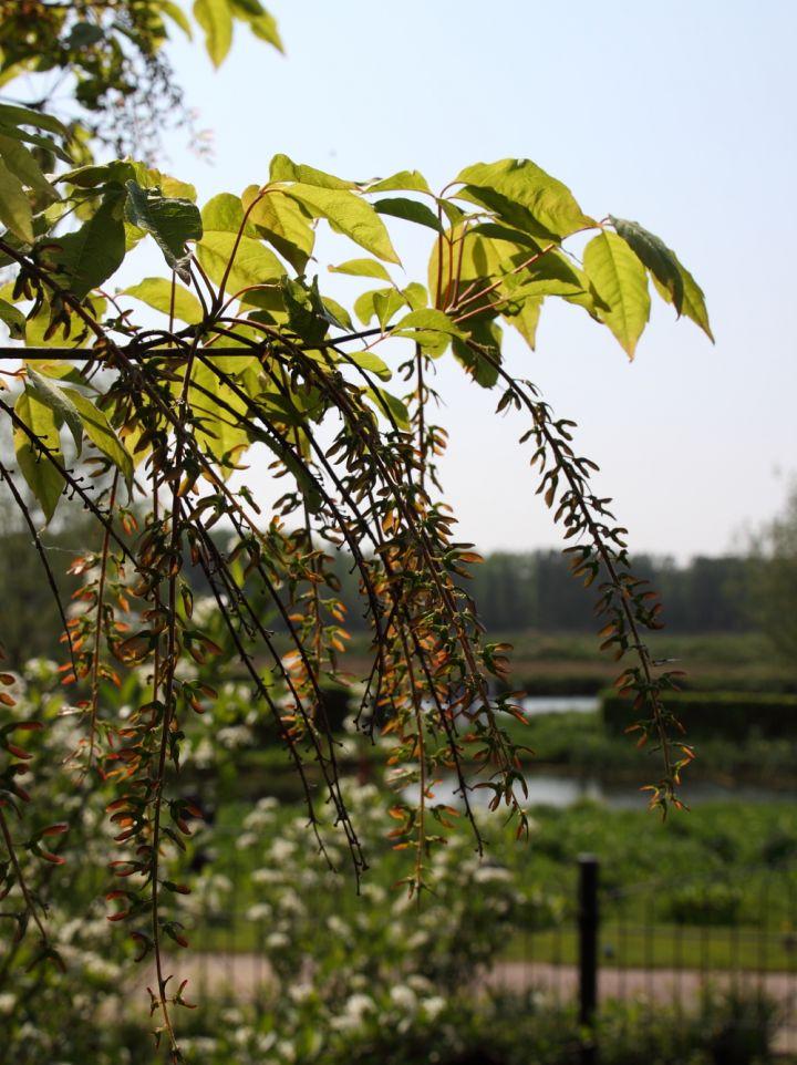 Acer cissifolium - Geveerdbladige esdoorn