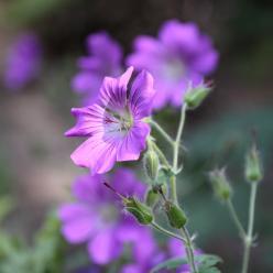 Geranium x magnificum 'Rosemoor' - Ooievaarsbek