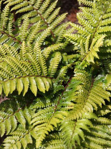 Polystichum polyblepharum 'Jade' - Glansschildvaren