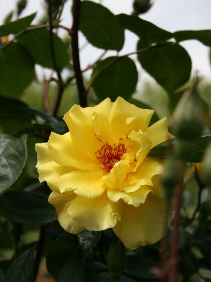 Rosa 'Golden Showers' - Floribundaroos