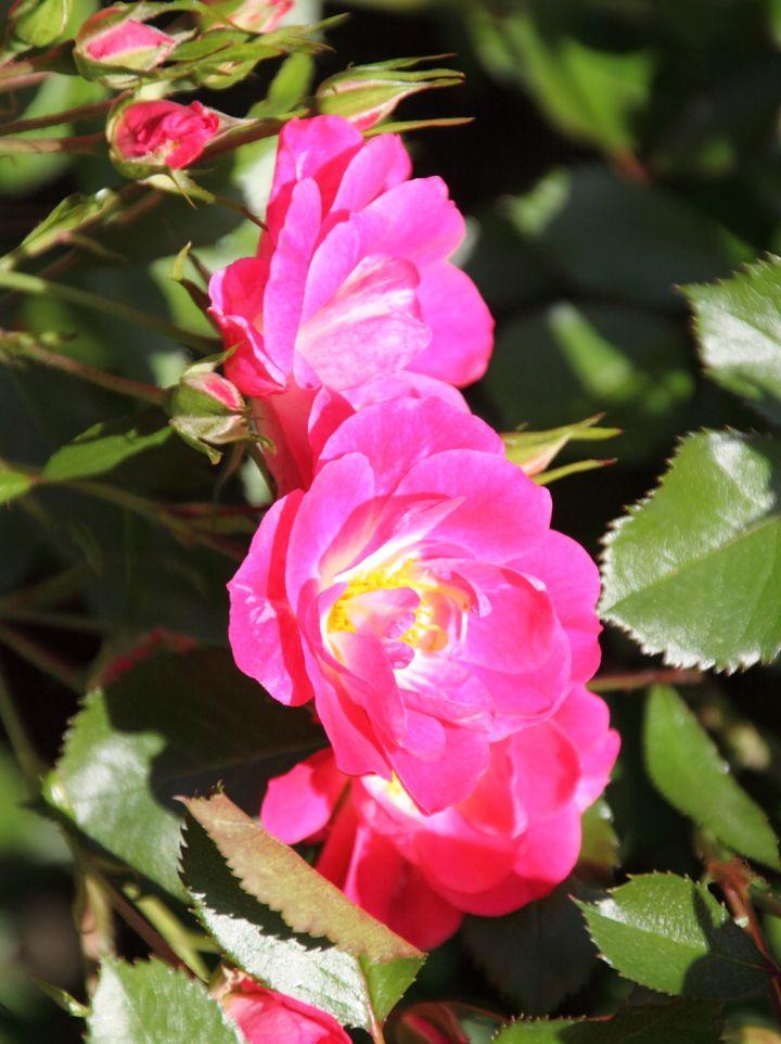 Rosa 'Meipelta' - Heesterroos