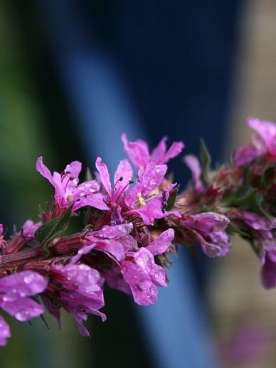 Lythrum salicaria - Grote kattenstaart
