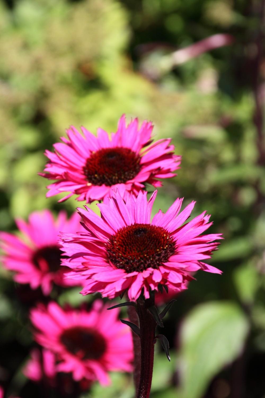 echinacea 39 fatal attraction 39 zonnehoed de tuinen van. Black Bedroom Furniture Sets. Home Design Ideas