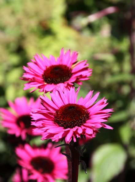Echinacea purpurea 'Fatal Attraction' (Rode Zonnehoed)