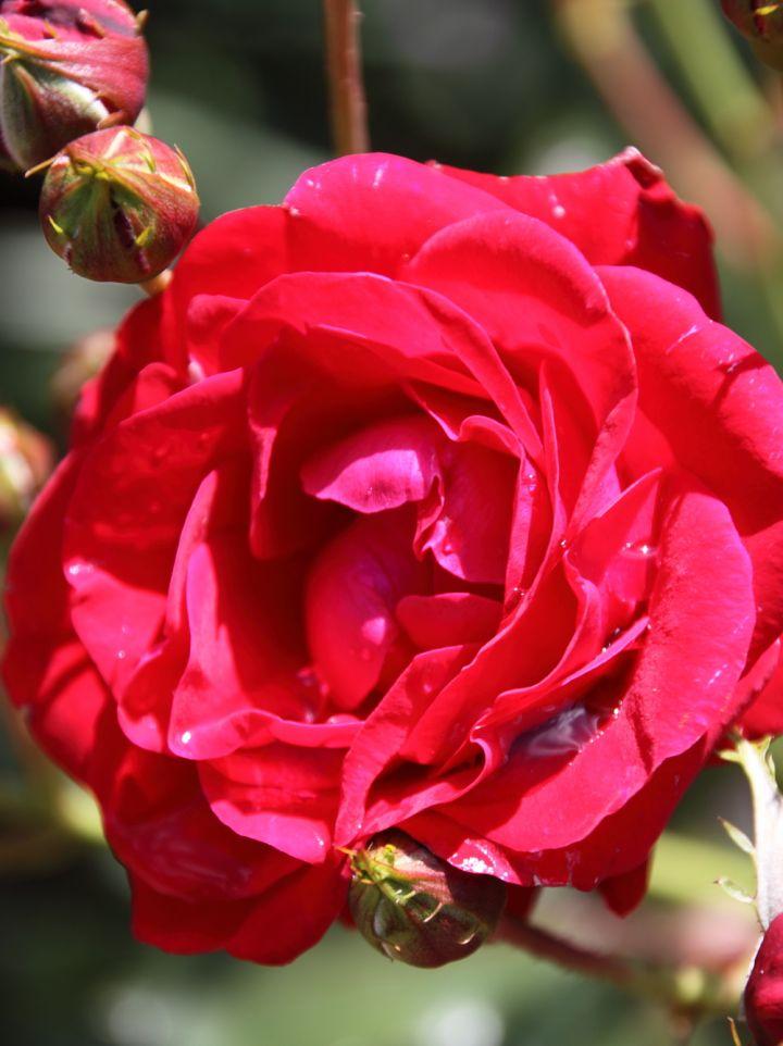 Rosa 'New Daily Mail' (=R. 'Pussta) - Floribundaroos