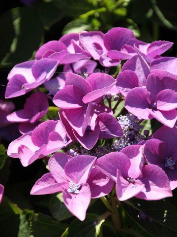 Hydrangea macrophylla 'Fasan' - Tuinhortensia